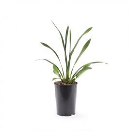 Cali Night jonge plant
