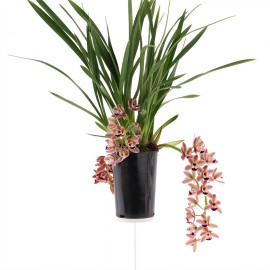 Novia, bloeiende plant