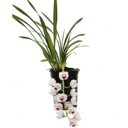 Dillard, bloeiende plant