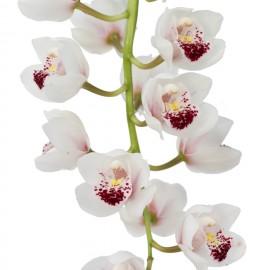 Dillard, bloem
