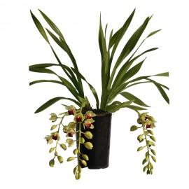 Jaina, bloeiende plant