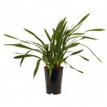 bloeibare plant