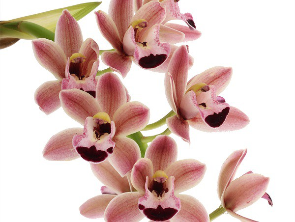 NEW CASCADE CYMBIDIUMS TYPES AVAILABLE IN OUR WEBSHOP