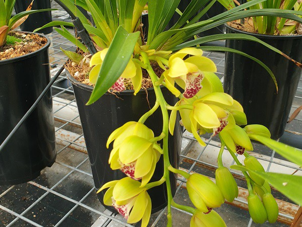 THIS WEEKEND THE CLOCK GOES TO WINTERTIME BUT ALSO START OF THE FLOWERING SEASON OF THE CASCADE CYMBIDIUMS
