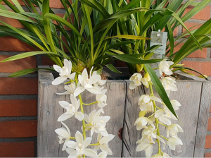 COLD GROWING ORCHIDS